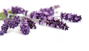 lavender-desktop-background-516288