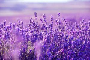 474652-best-lavender-food-wallpaper